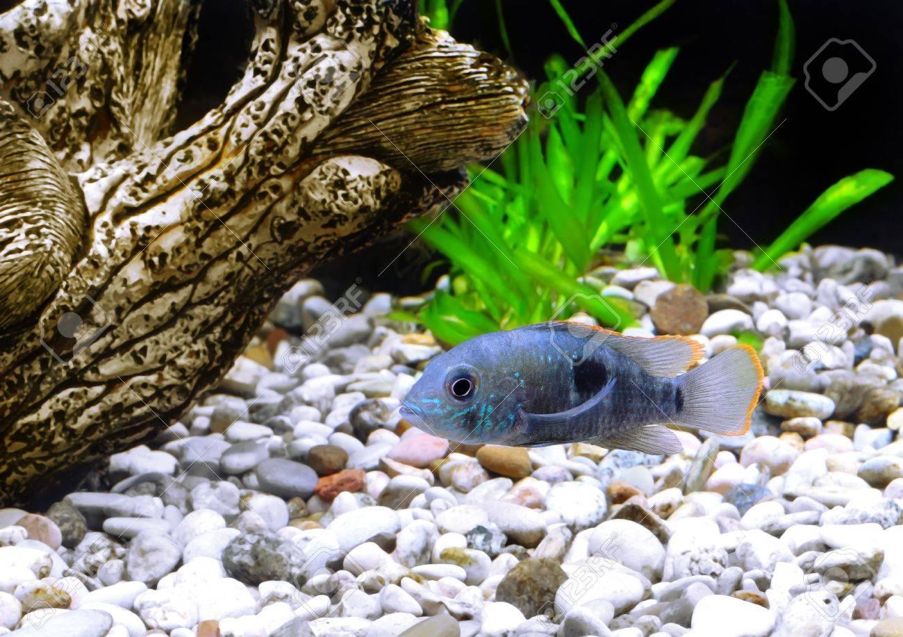 Aquarium Fish dwarf Cichlid.  (Apistogramma nijsseni). Stock Photo - 10397224