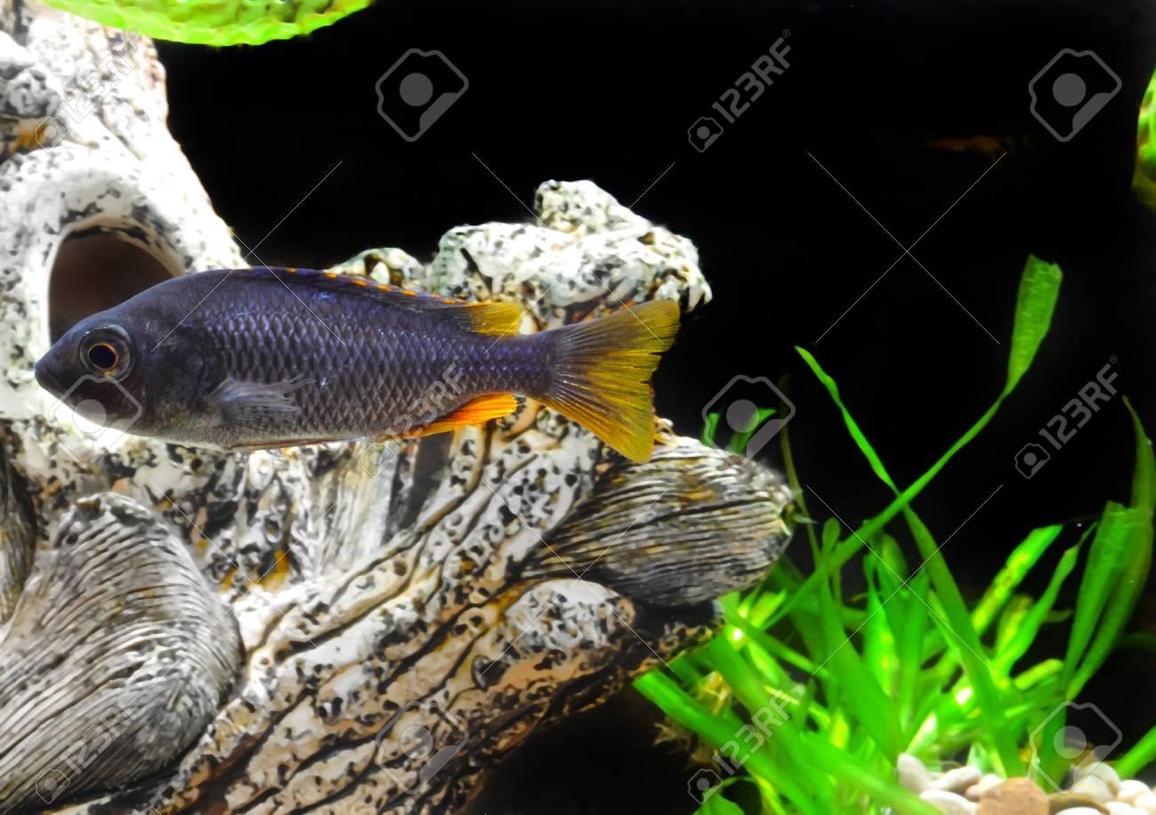 Aquarium Fish dwarf Cichlid underwater. Stock Photo - 10397190