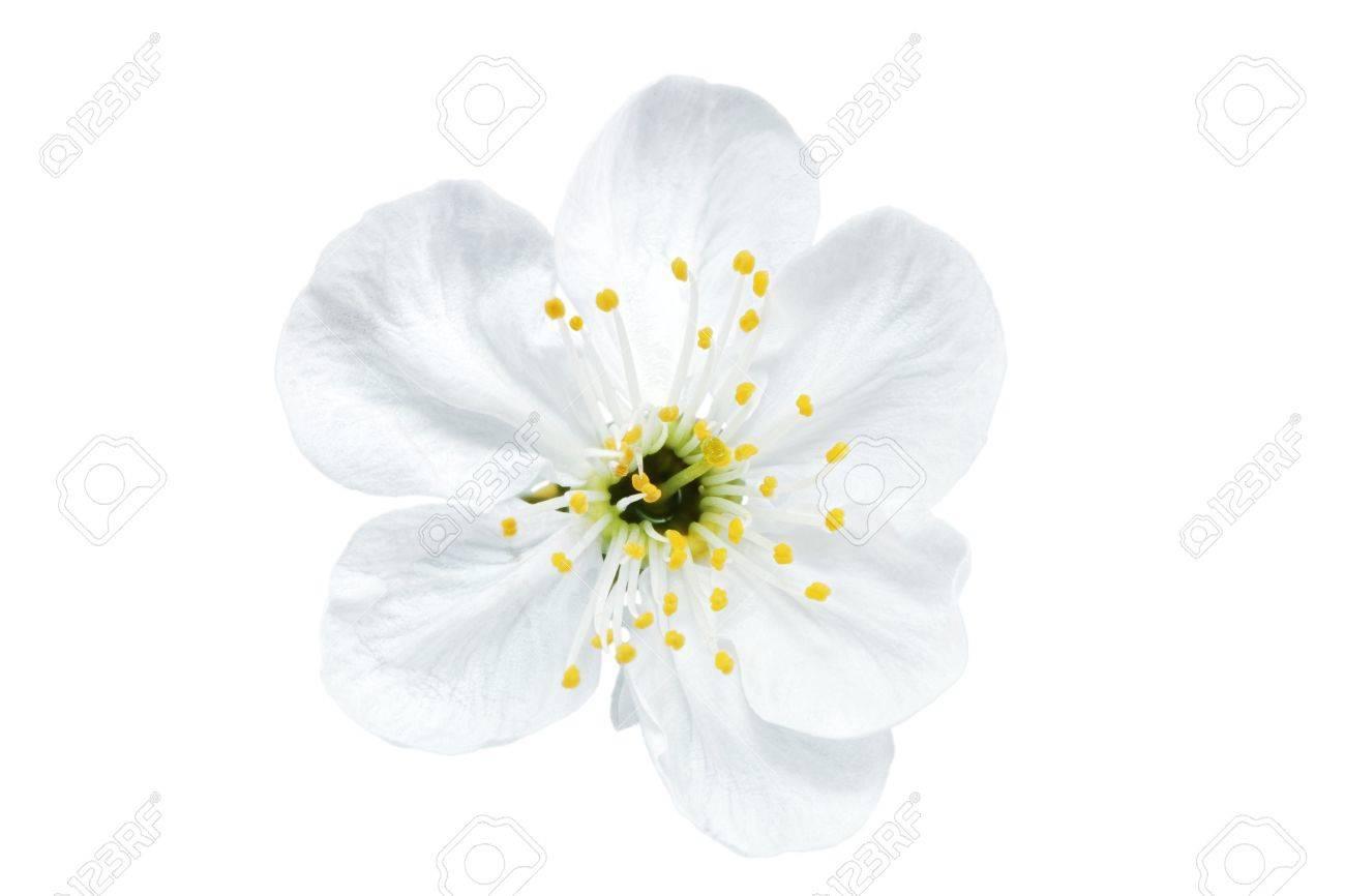 Single Flower Of Cherry Isolated On White Background Stock Photo