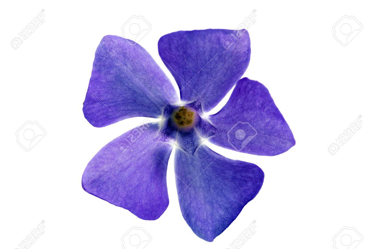 Single Flower White Background No Watermark