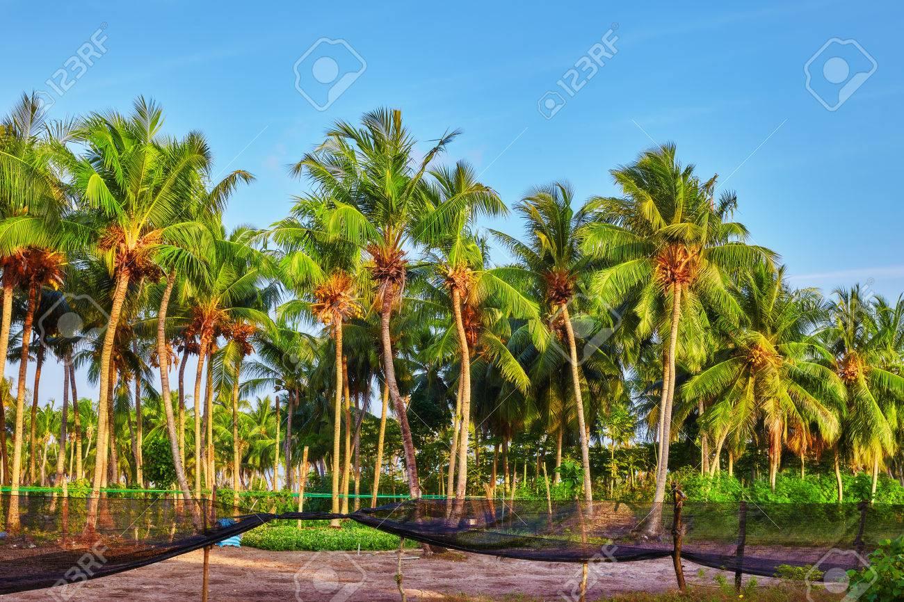 Kết quả hình ảnh cho coconut tree