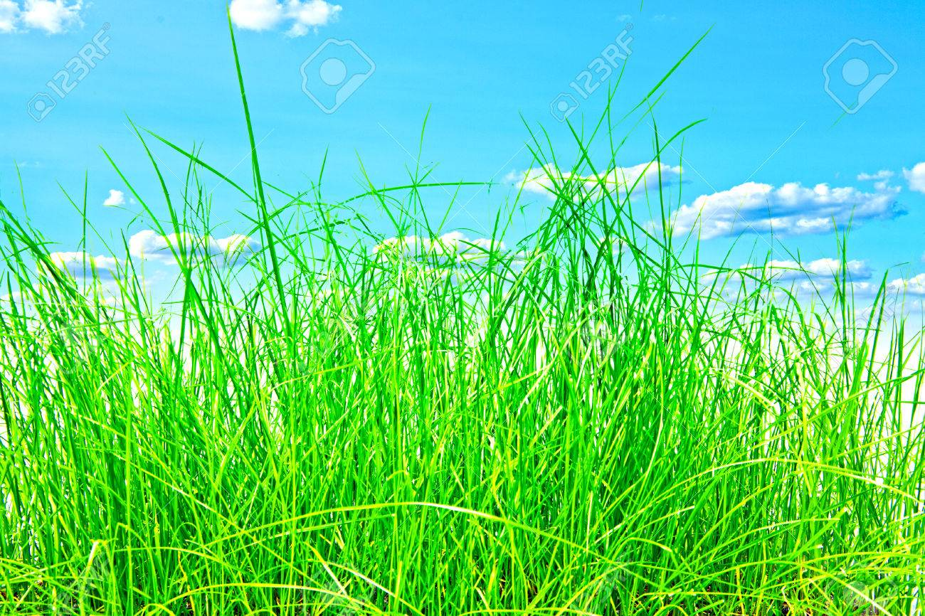 grass and sky backgrounds. Field Green Grass Isolation On The Sky Backgrounds Stock Photo - 37269742 And V