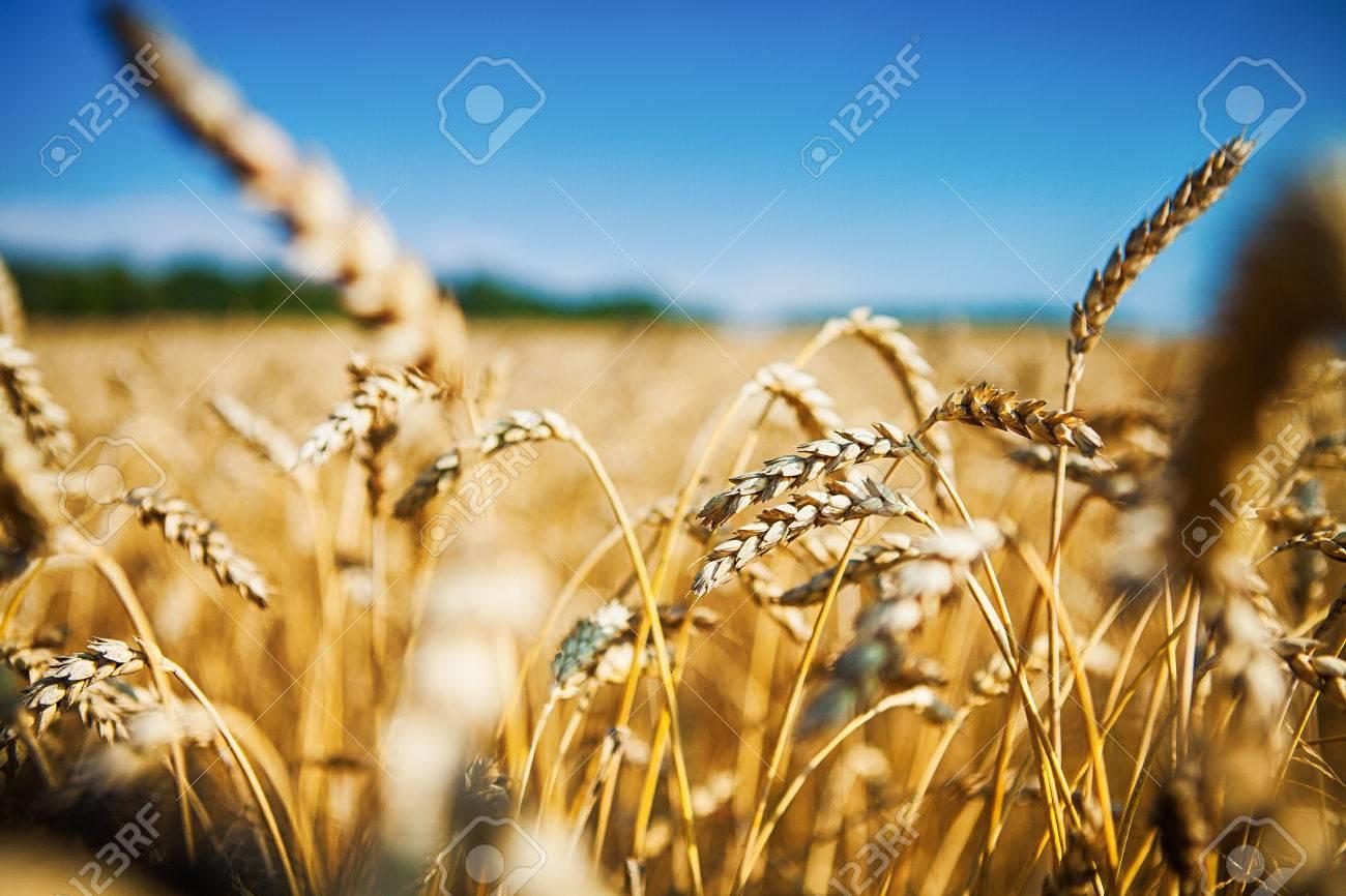 Wheat field - 37470200