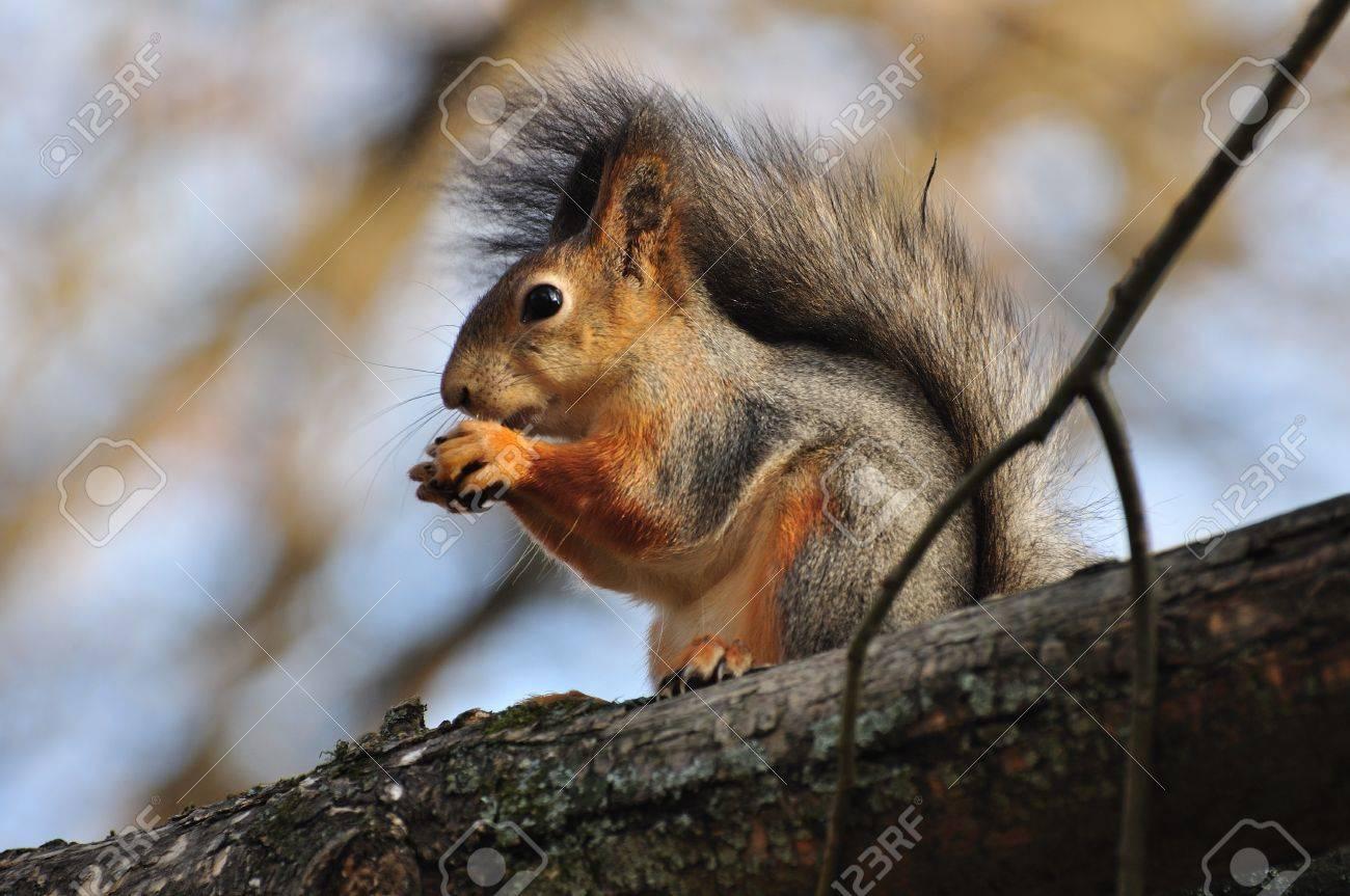 Squirrel Stock Photo - 12747634