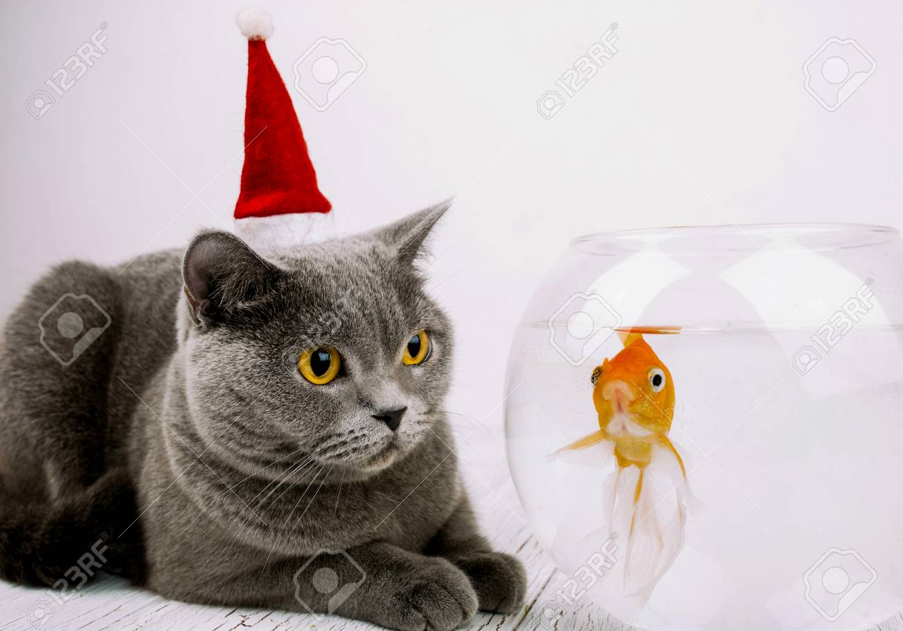 Beautiful Grey British Shorthair Cat In Red Christmas Hat Looks