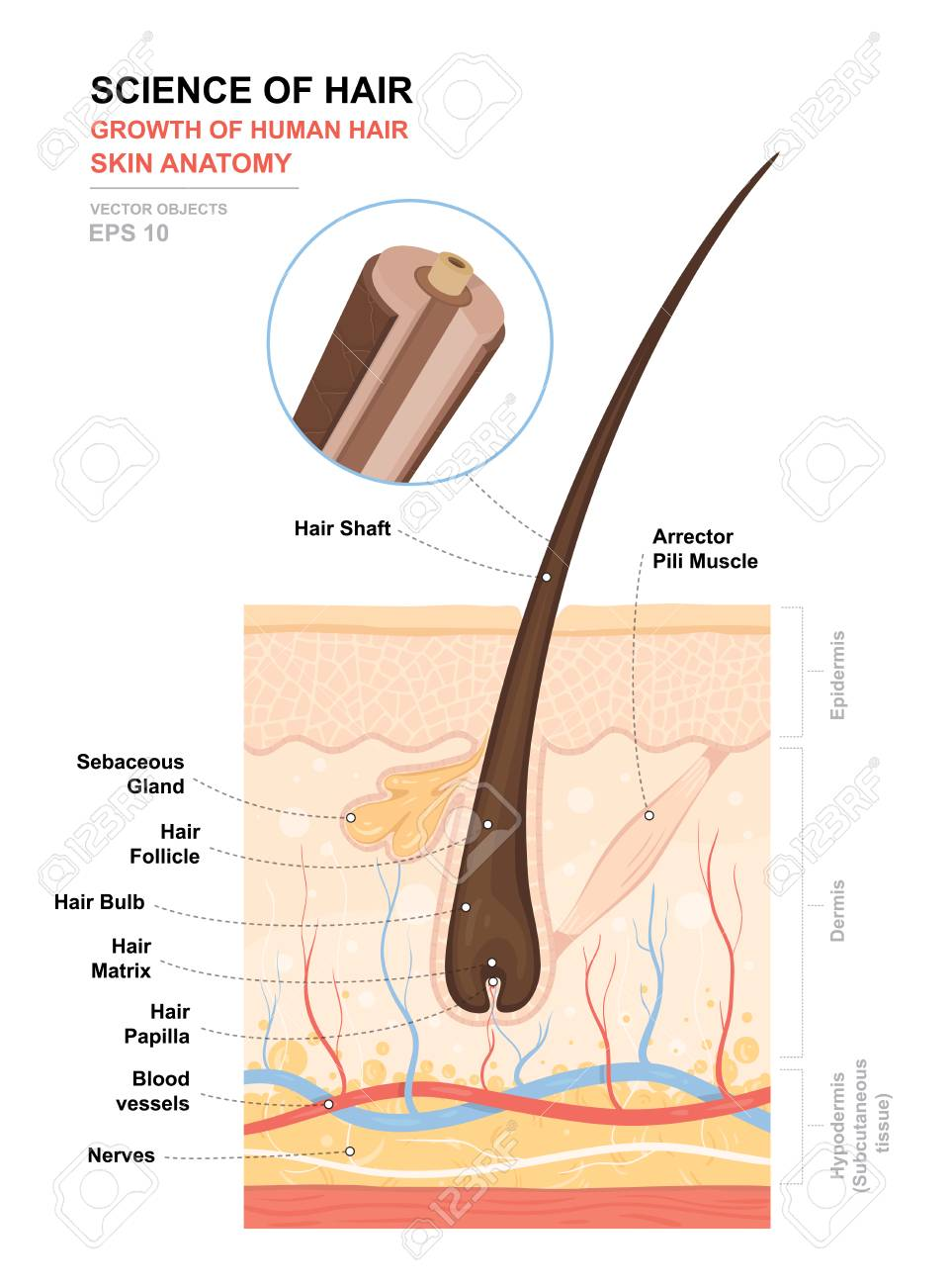 Anatomical Training Poster Growth And Structure Of Human Hair