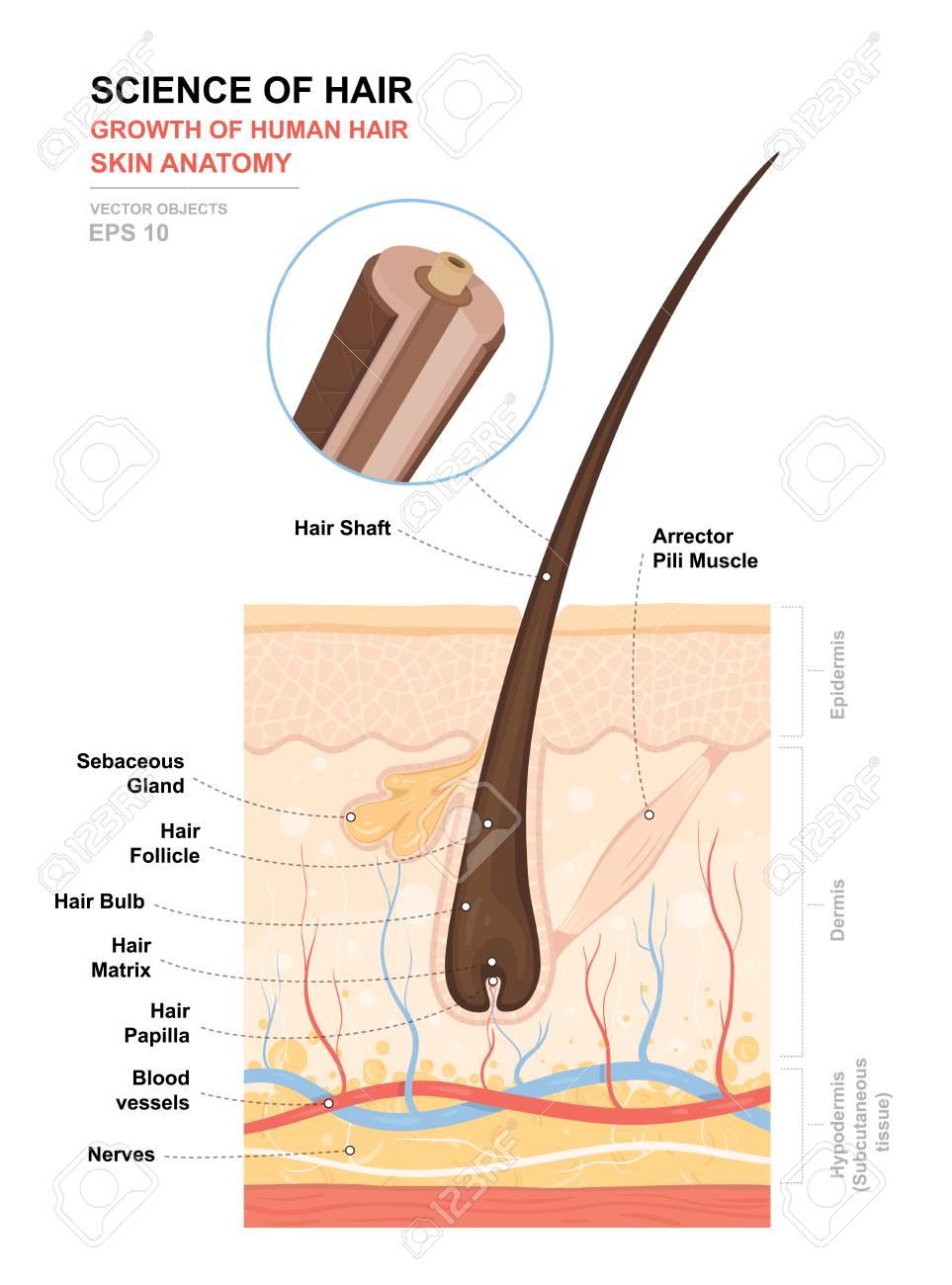 Cartel De Entrenamiento Anatómico. Crecimiento Y Estructura Del ...