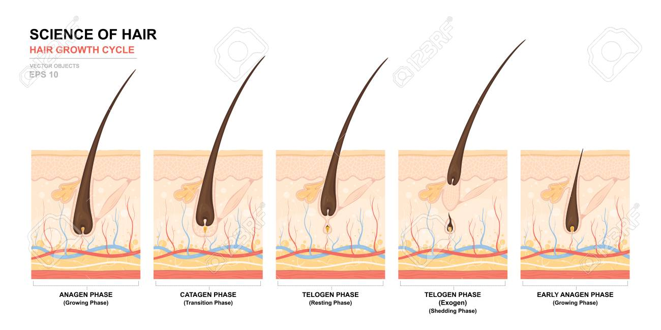 Anatomical Training Poster. Hair Growth Phase Step By Step. Stages ...