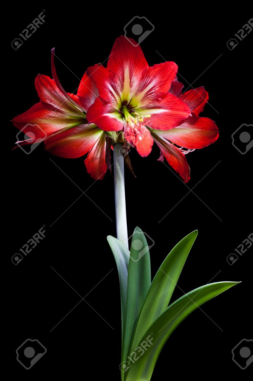 Red lily flower isolated on black background stock photo picture red lily flower isolated on black background stock photo 13439183 izmirmasajfo