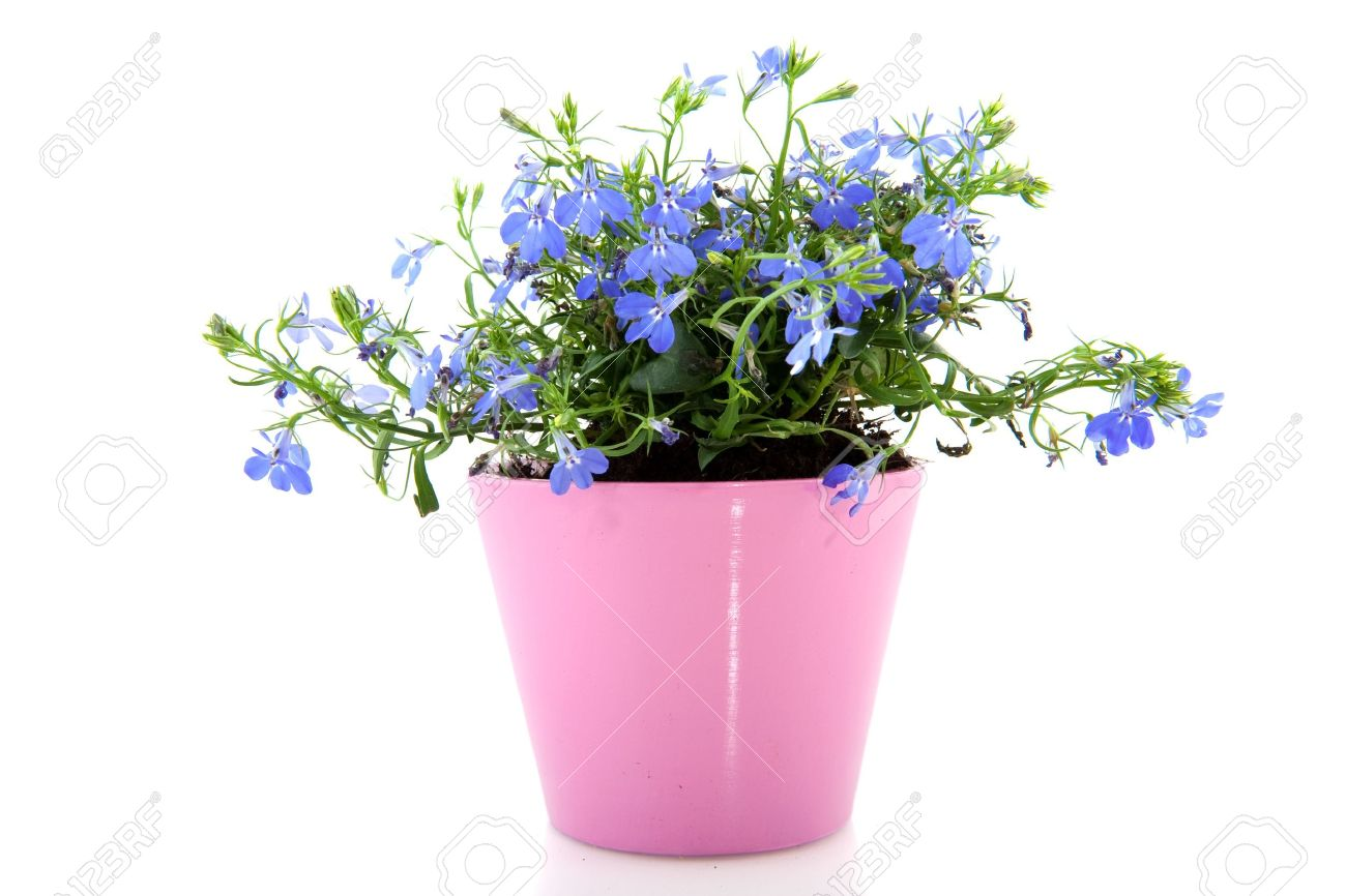 Cheerful blue lobelia in pink flower pot stock photo picture and cheerful blue lobelia in pink flower pot stock photo 4839214 mightylinksfo