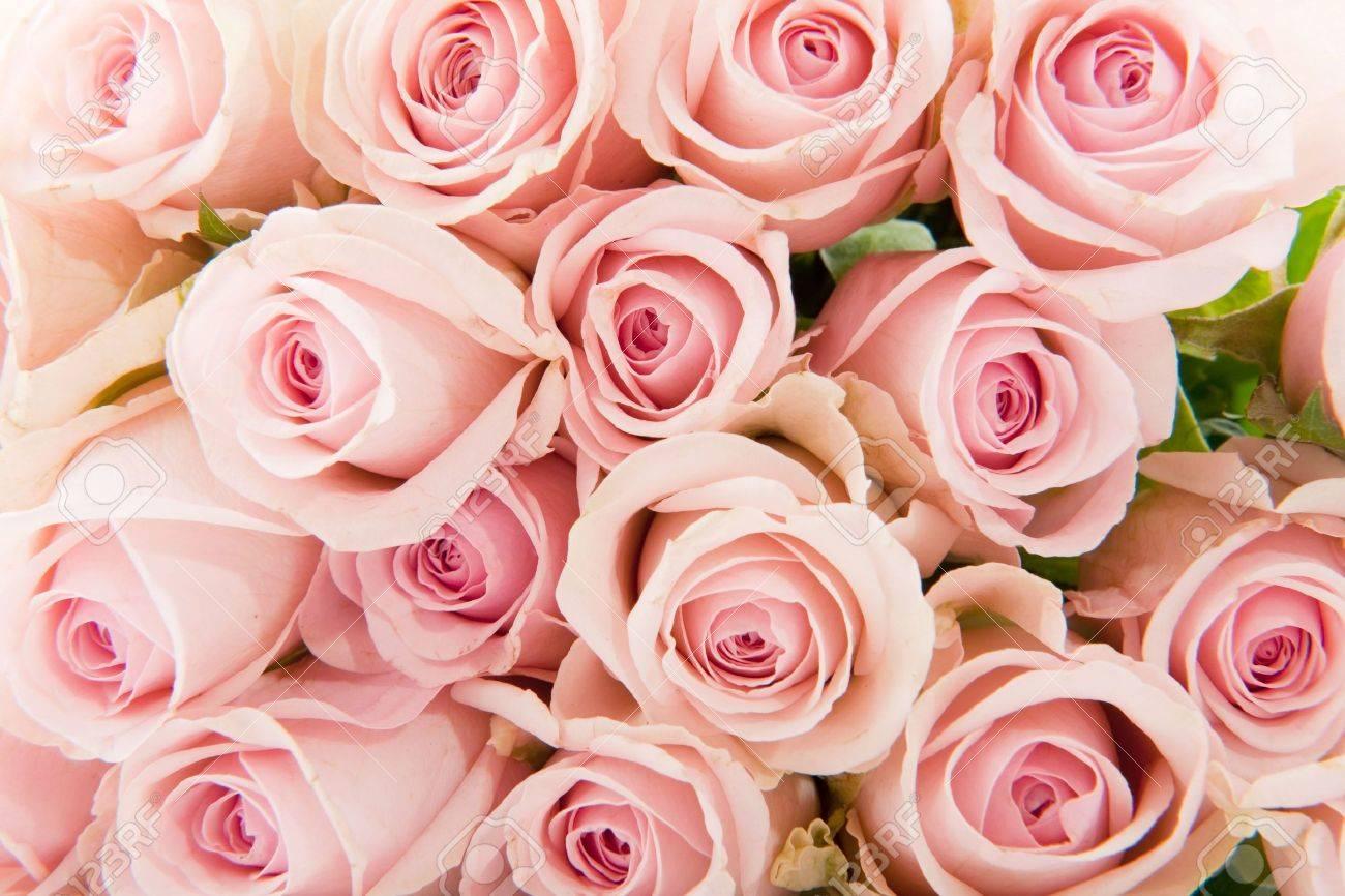 Muchos Rosas Rosa De Botánicas Lleno Como Fondo Fotos Retratos