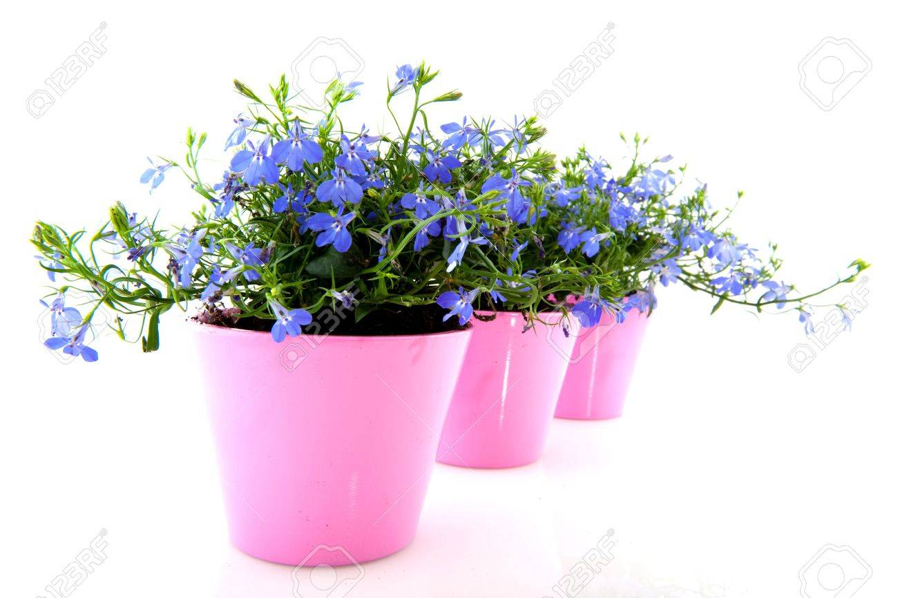 Blue lobelia in colorful pink flower pots stock photo picture and blue lobelia in colorful pink flower pots stock photo 6139491 mightylinksfo