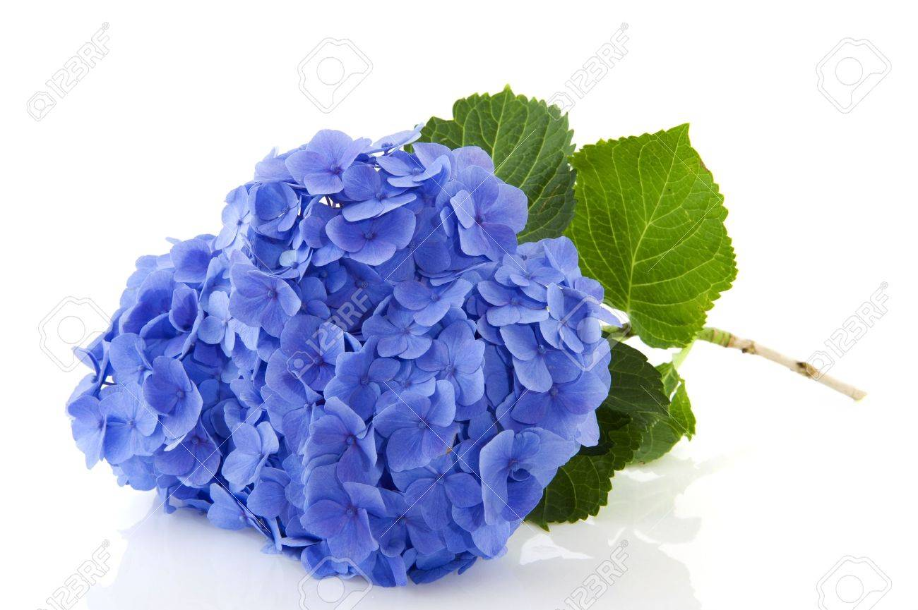 Blue Hydrangea flowers in nature isolated over white - 6413568