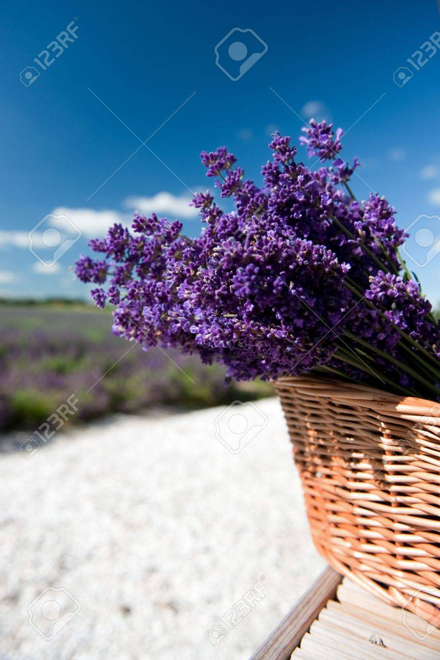 Picking Lavender in the fields and collect them in a cane basket Stock Photo - 7541453