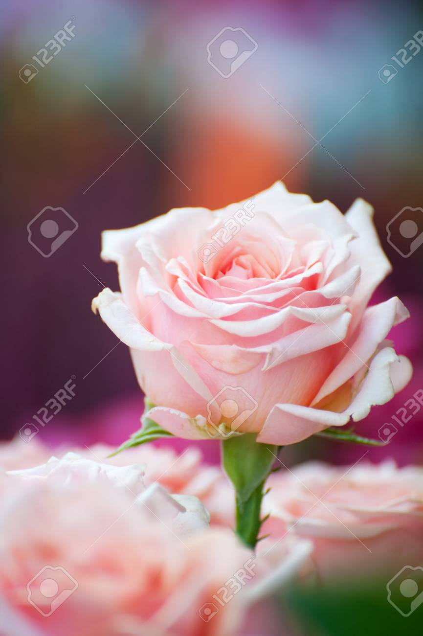 Bouquet of pink roses with one above Stock Photo - 7541454