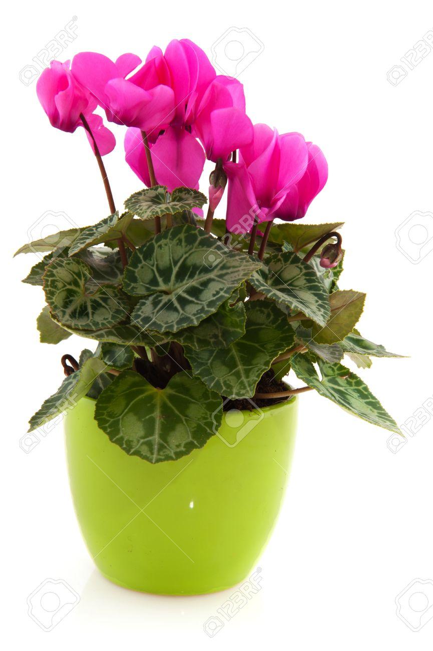 Bloemen In Pot.Roze Cyclamen In Groene Bloemen Pot Gea Soleerde Witte Achtergrond
