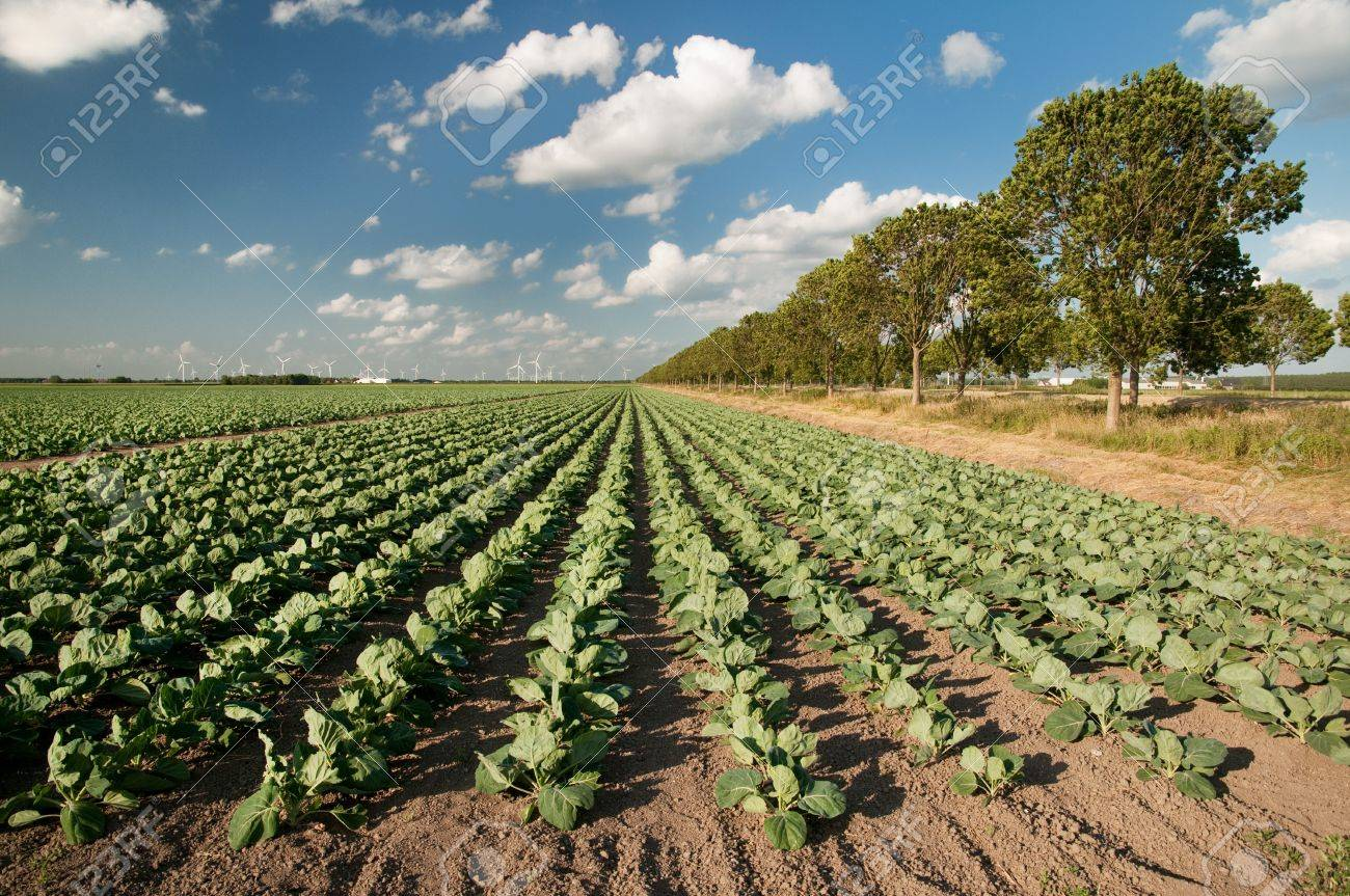 Agriculture landscape with many cabbages in the fields Stock Photo - 7975225