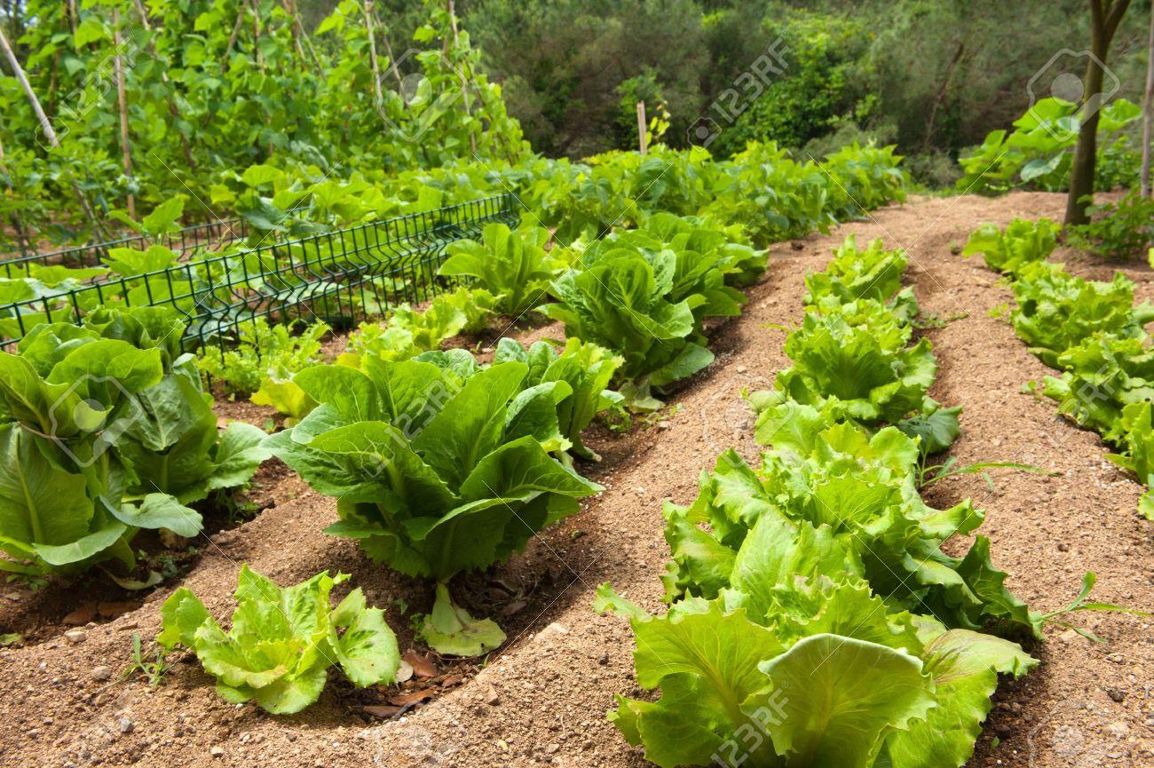 Vegetable garden rows - Growing Lettuce In Rows In The Vegetable Garden Stock Photo 8056544