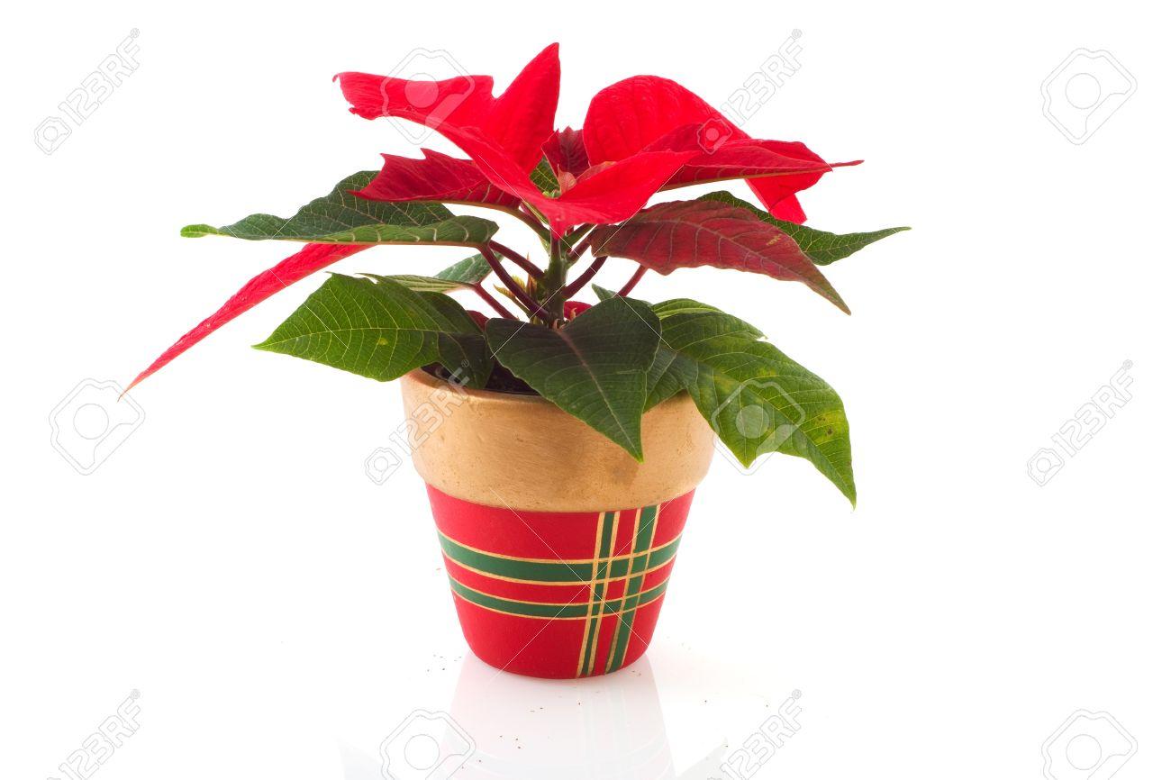Christmas Flower Pots.Poinsettia Plant In Christmas Flower Pot Isolated Over White