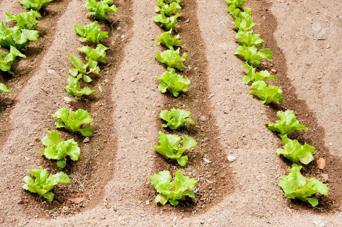 Vegetable garden rows - Stock Photo Vegetable Garden With Rows Of Salad Plants