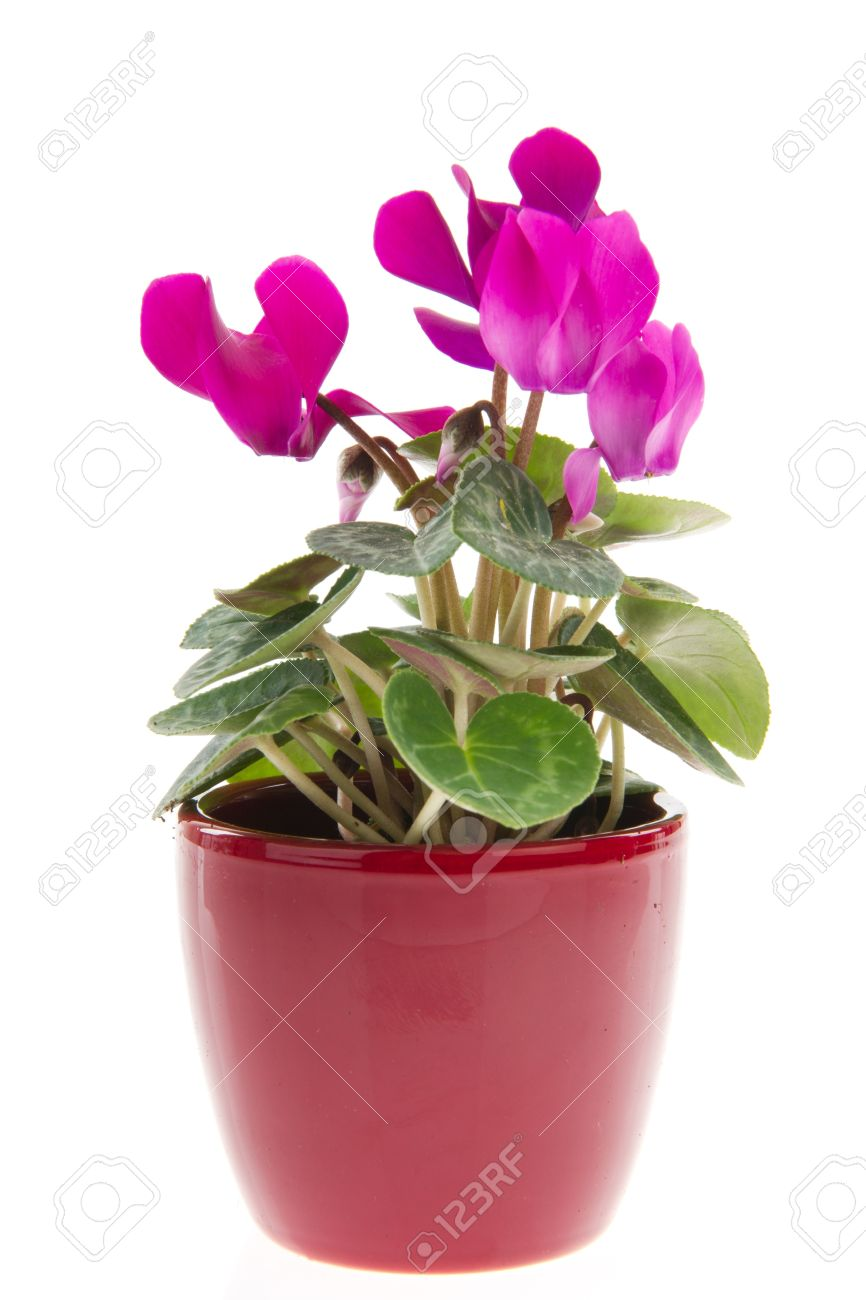 Pink cyclamen plant in flower pot isolated over white background pink cyclamen plant in flower pot isolated over white background stock photo 8793522 mightylinksfo