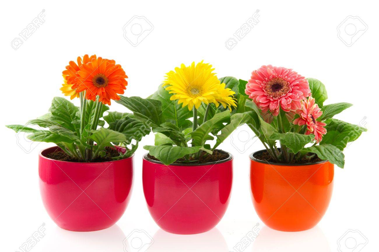 Colorful Gerber Plants In Row Pots Isolated Over White Stock Photo ...