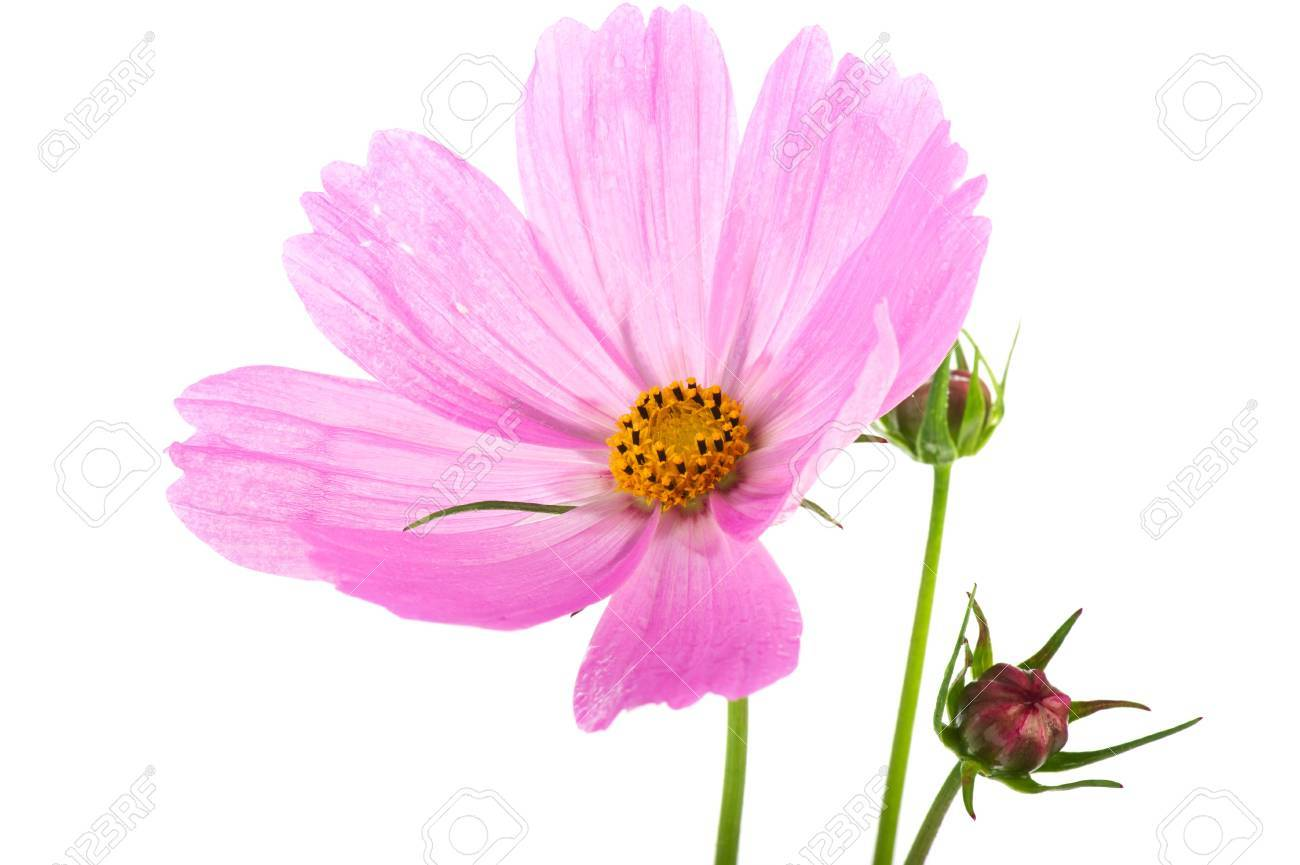 Pink Cosmos Flowers With Buds Isolated Over White Background Stock