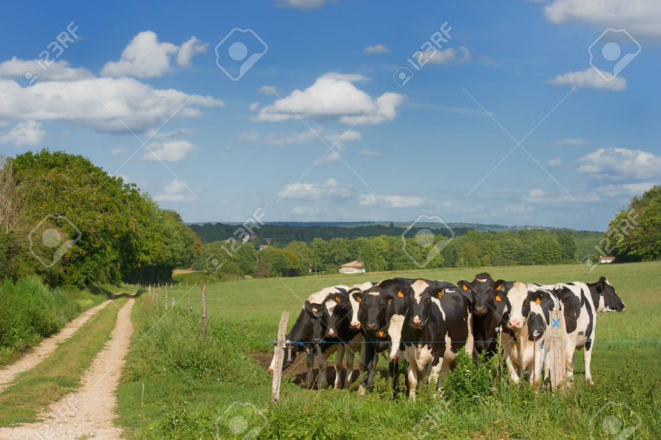 Black and white cows in French landscape Stock Photo - 11263673