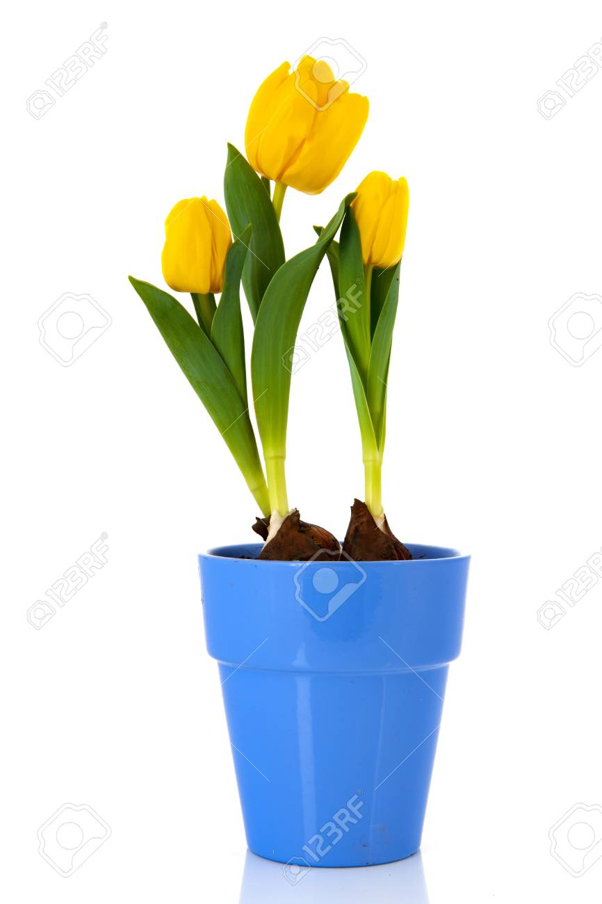 Yellow Tulips Flower Bulbs Isolated Over White Background Stock