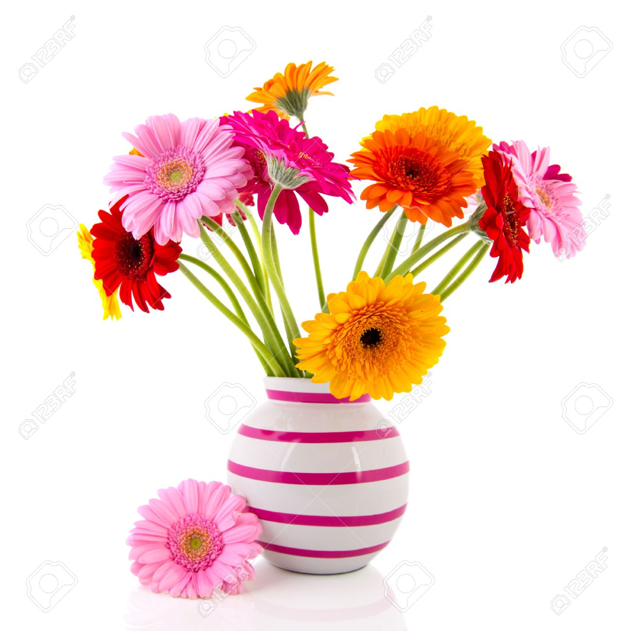 22337887-Gerber-fleurs-color-es-dans-la-vase-avec-des-rayures-rose-isol-sur-fond-blanc-Banque-d'images