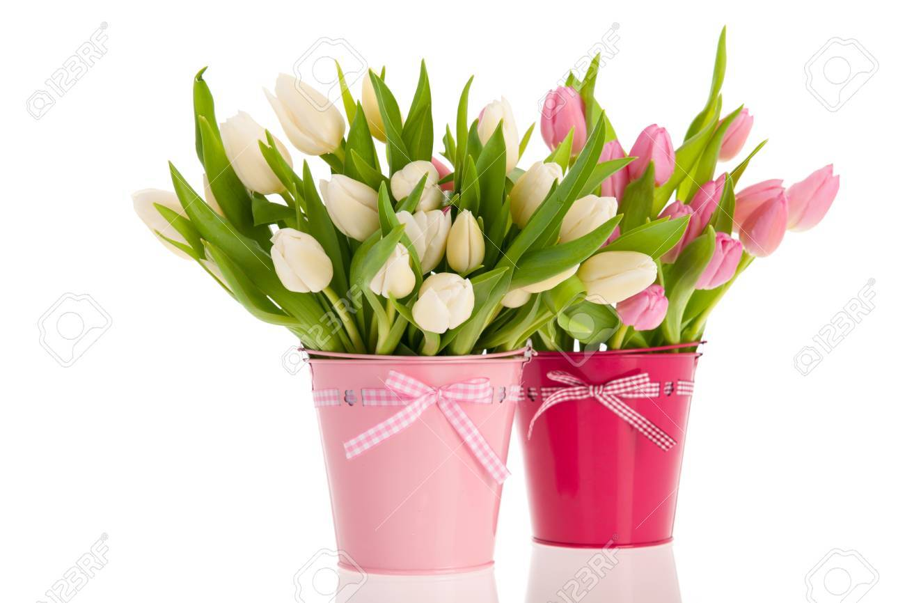 Pink And White Tulips In Buckets Isolated Over White Background