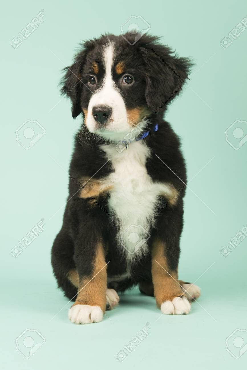 Cute Little Bernese Mountain Dog Puppy On Green Background Stock Photo Picture And Royalty Free Image Image 93938002