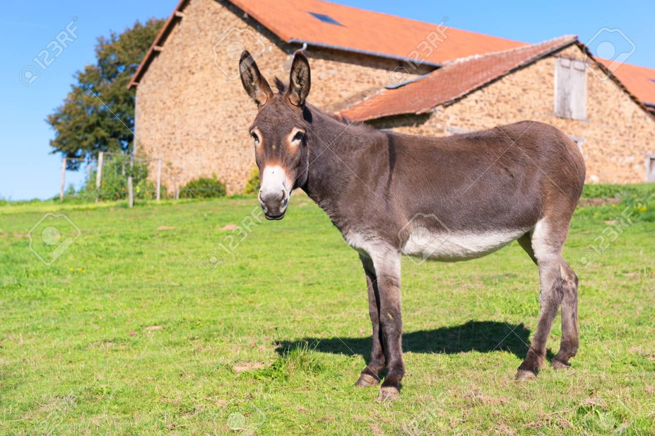 Donkey in meadows in front of the farm - 116094443