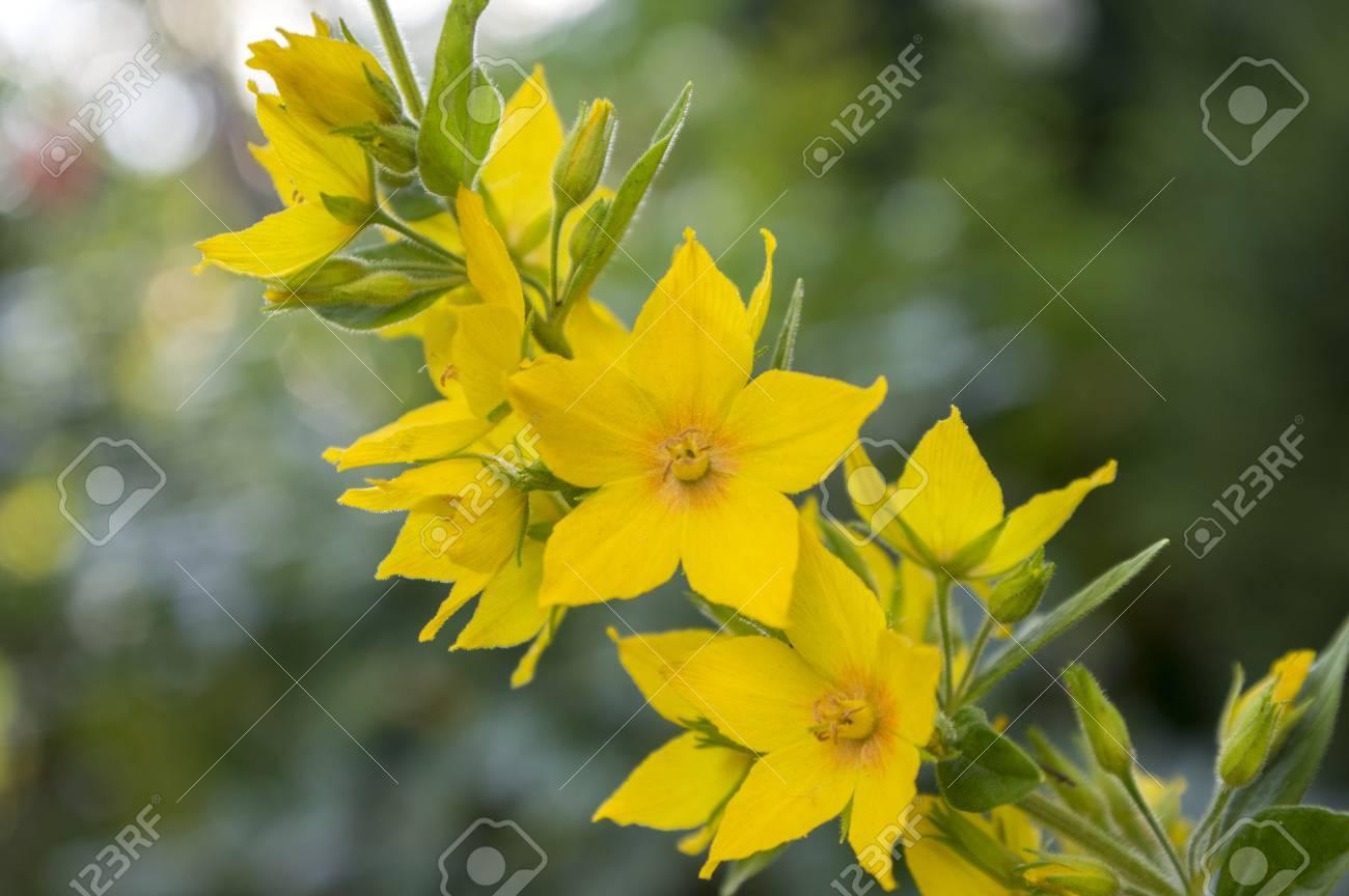 Yellow lysimachia punctata in bloom