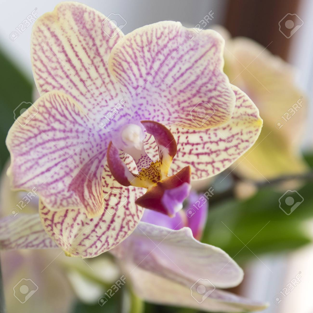Beautiful Single Yellow And Pink Orchid Flowers In Bloom Indoor