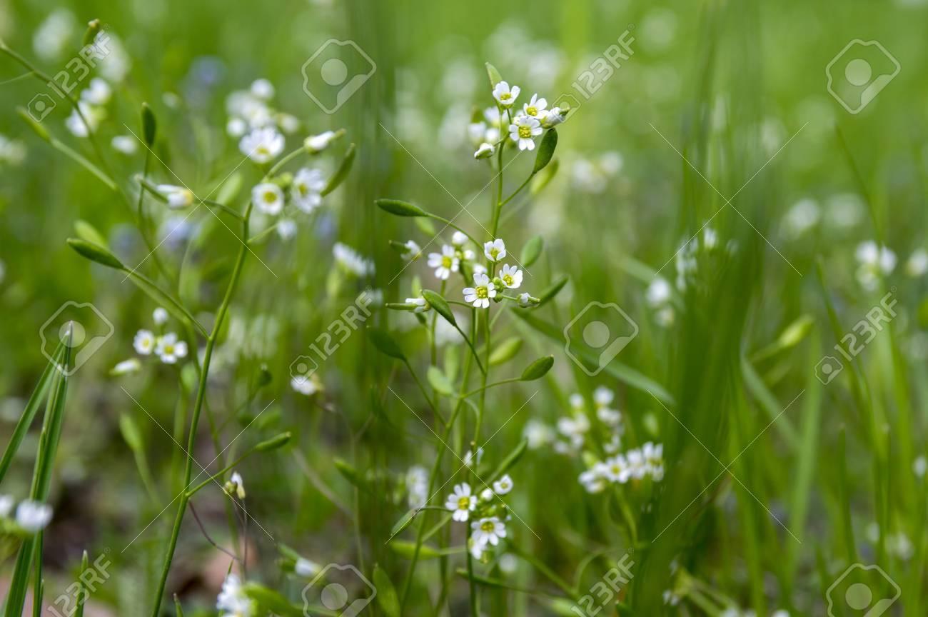 Draba Verna Grupo De Principios De Primavera Pequenas Flores