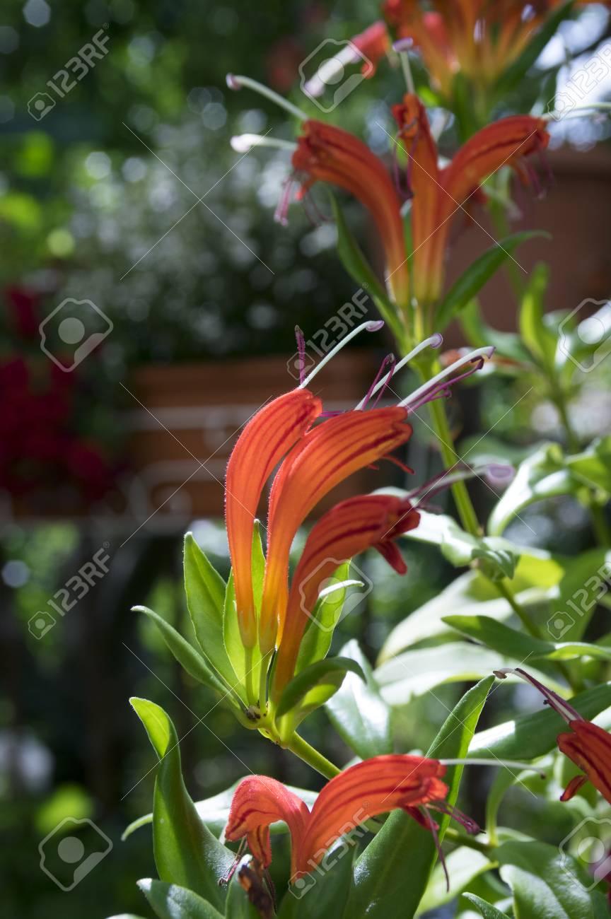Aeschynanthus Speciosus In Bloom Pretty Orange Red Flowers Stock