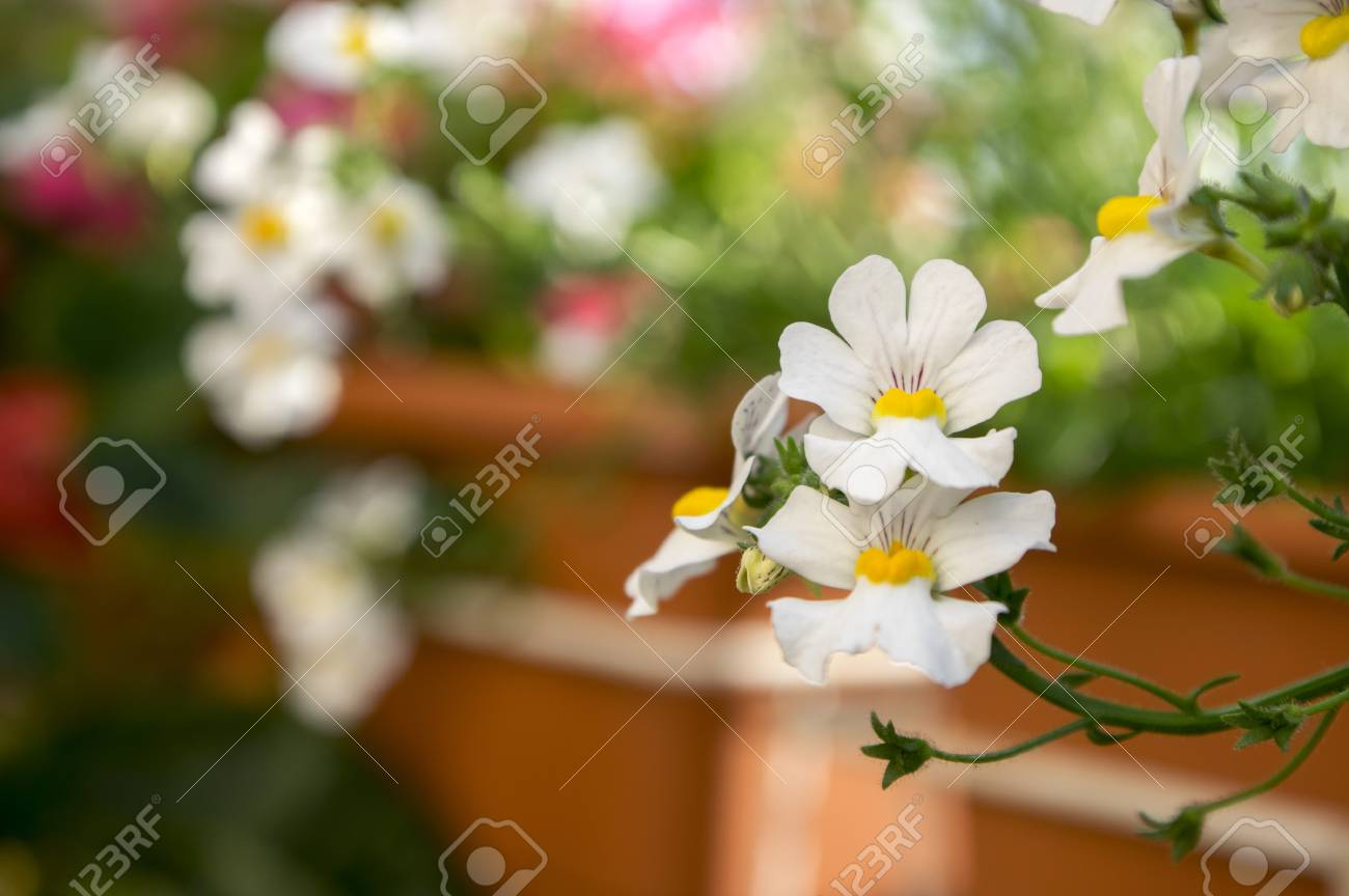 Nemesia Strumosa Ornamental Flowers In Bloom White With Yellow