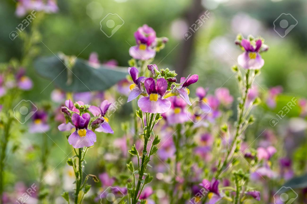 Nemesia Strumosa Ornamental Flowers In Bloom Purple Violet With