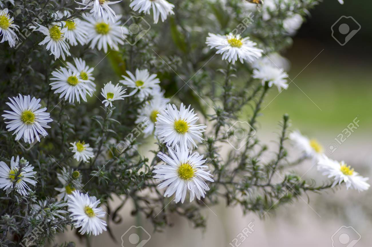 Aster Ericoides White Heath Aster Flower In Bloom Stock Photo