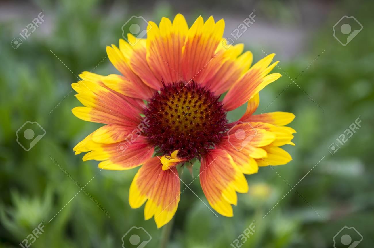 Gaillardia Aristata Red Yellow Flower In Bloom Stock Photo Picture