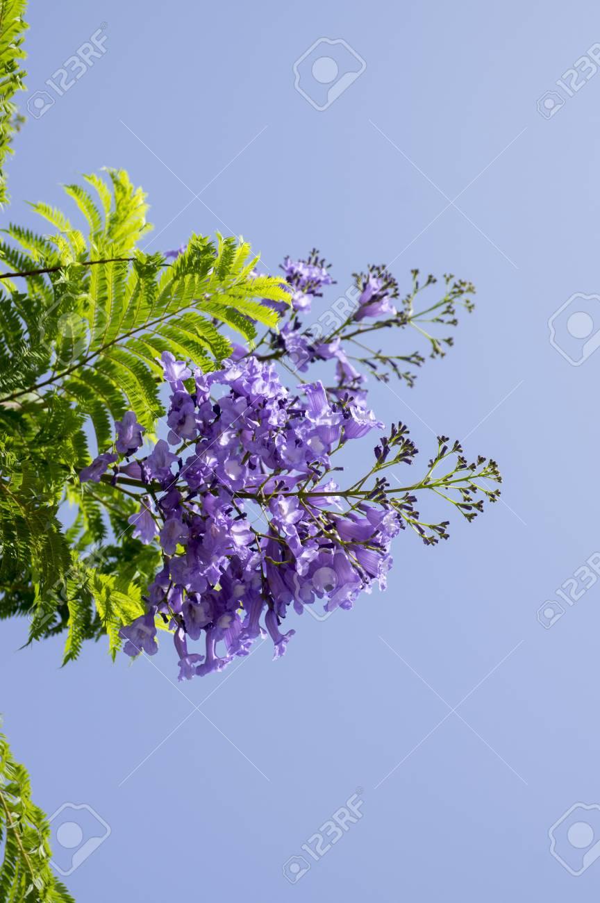 Jacaranda mimosifolia tree in bloom with amazing blue violet stock jacaranda mimosifolia tree in bloom with amazing blue violet flowers stock photo 91101801 izmirmasajfo