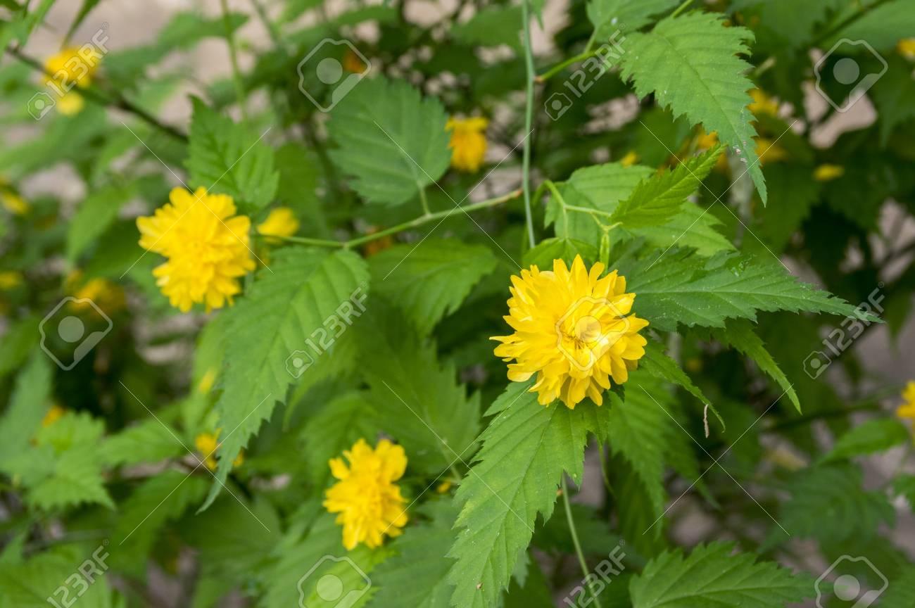 Kerria Japonica Pleniflora Cultivar In Bloom Yellow Flowers Stock