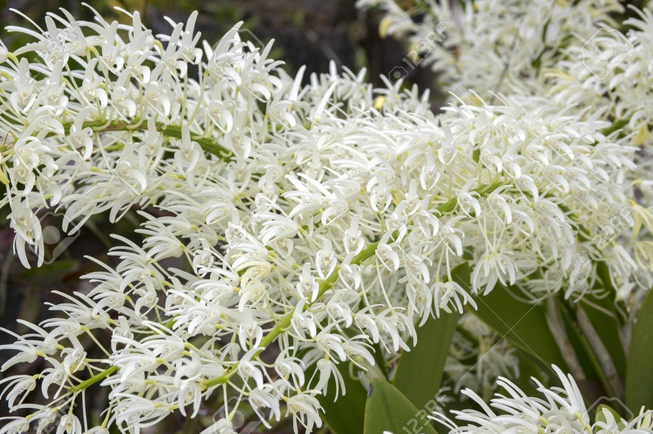 Dendrobium Speciosum Group Of Small White Flowers In Bloom Orchid