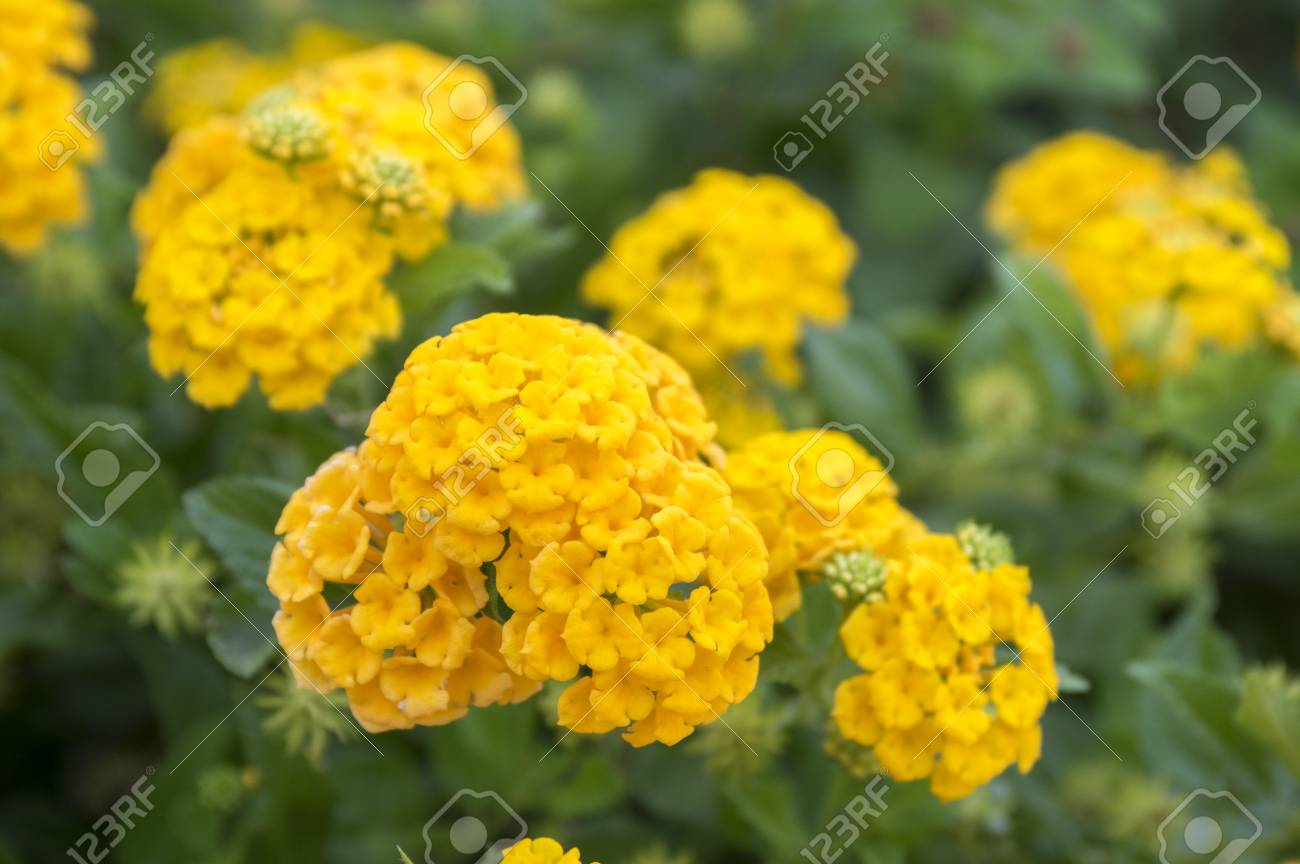 Lantana Camara Ornamental Tropical Shrub Yellow Flowers On Branches