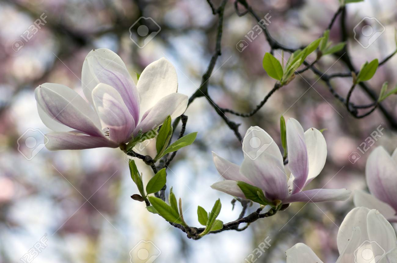 Magnolia Soulangeana Also Called Saucer Magnolia Flowering Springtime Stock Photo Picture And Royalty Free Image Image 103118543