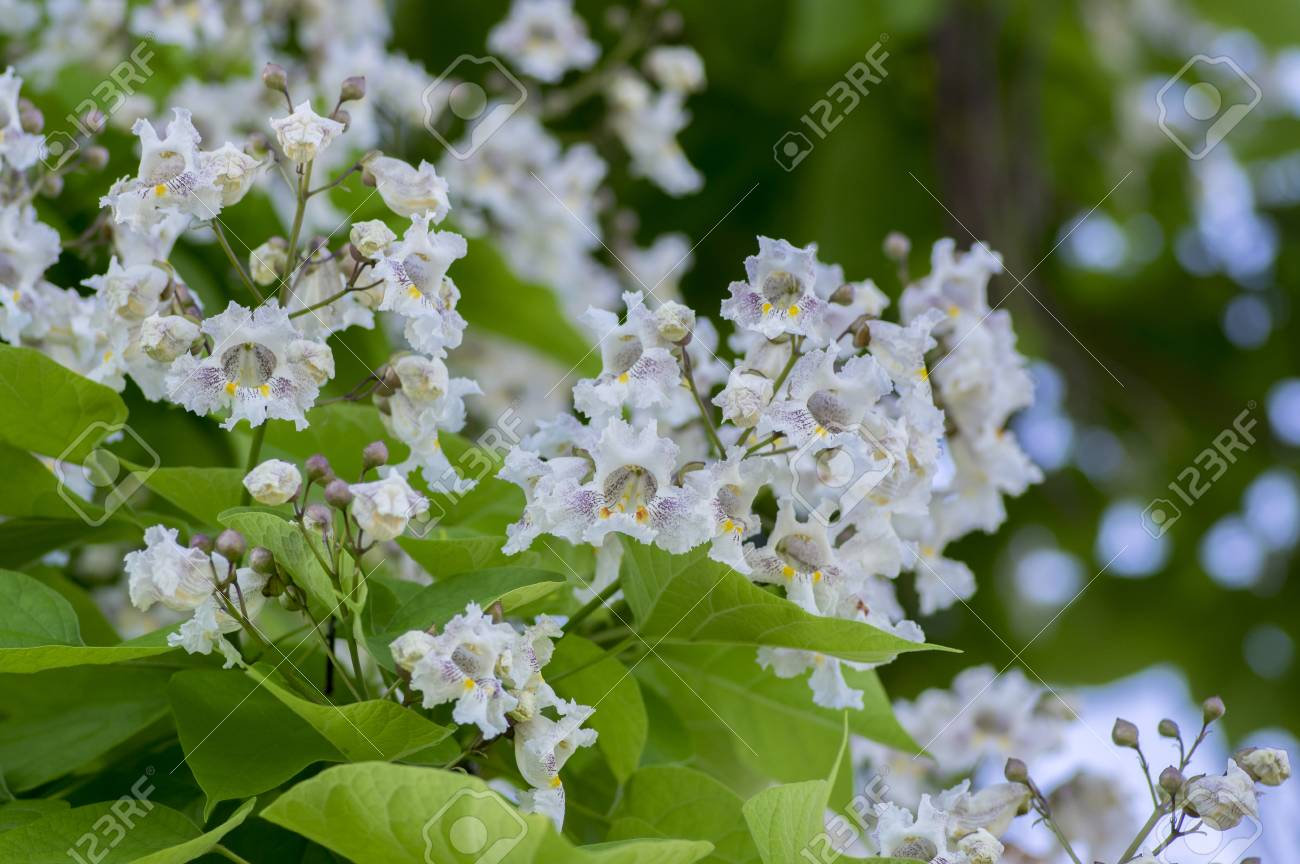 Catalpa Bignonioides Medium Sized Deciduous Ornamental Flowering