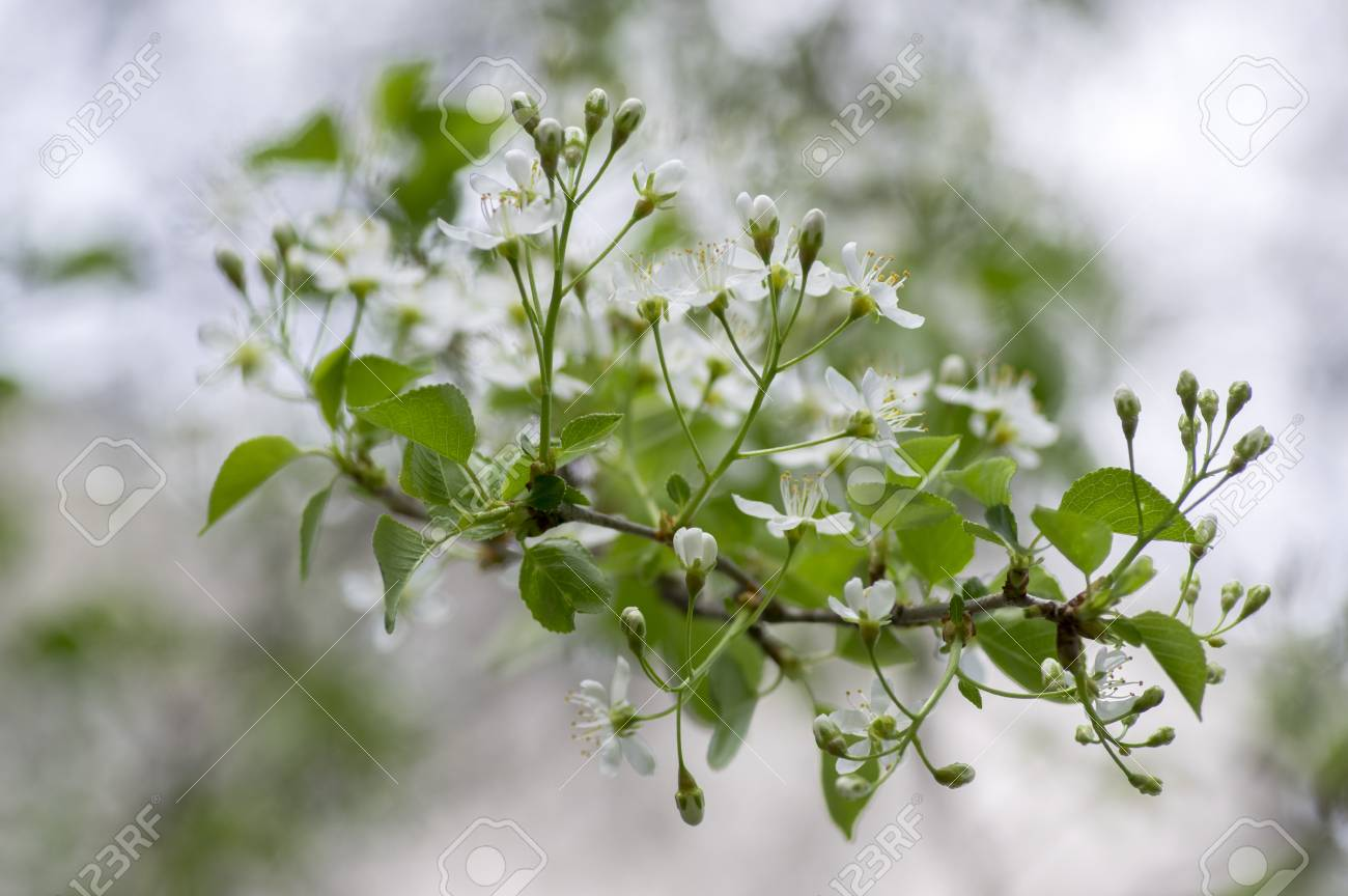 Mahaleb Cherry Tree Flowering Deciduous Tree With Group Of Small