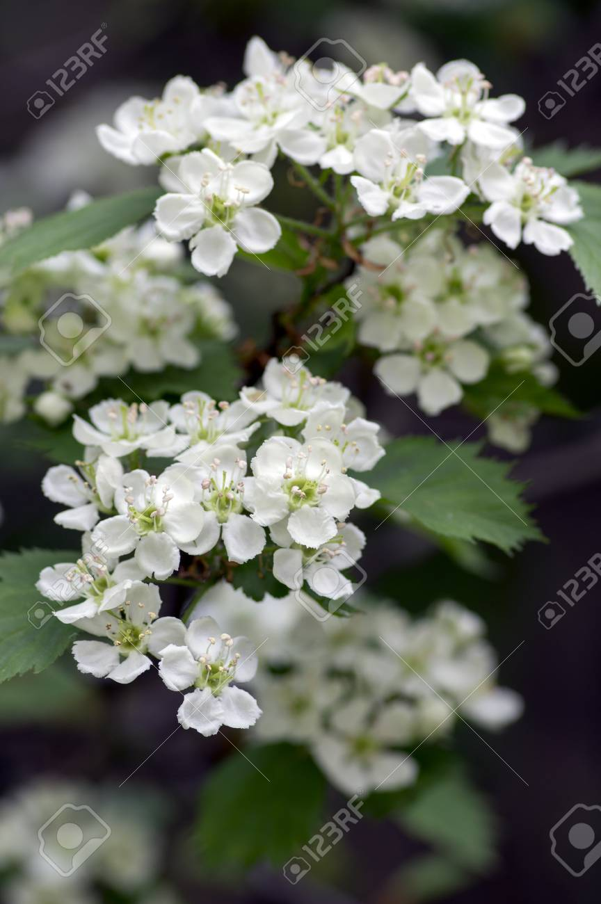 Crataegus Pinnatifida Ornamental Flowering Tree With White Flowers