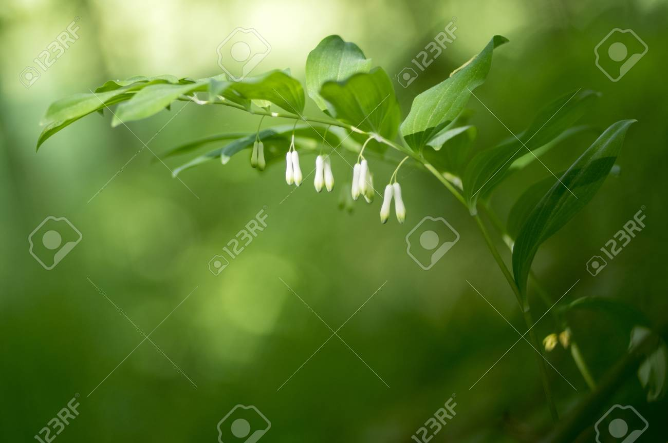 Polygonatum odoratum white forest flowers in bloom, springtime
